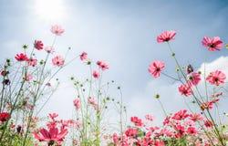 Różowy kosmosu kwiat na biel backgroundRed kosmosie kwitnie na whit Obrazy Stock