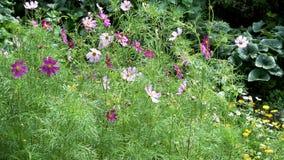 Różowy kosmosu kwiat w ogródzie zbiory