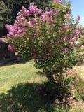 Różowy krepdeszynowego mirtu drzewo Zdjęcie Stock