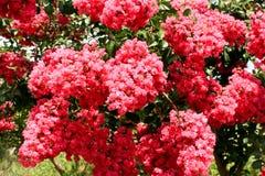 Różowy Krepdeszynowy mirt kwitnie na drzewie Fotografia Royalty Free