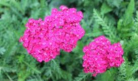 różowy krwawnik Fotografia Stock