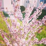 Różowy krzak Zdjęcie Royalty Free