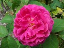Różowy kwiat 04 Zdjęcia Royalty Free