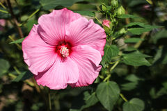 Różowy kwiat Obrazy Stock