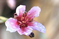 Różowy kwiat brzoskwini drzewo z kroplami woda na nim, Makro- Zdjęcie Royalty Free