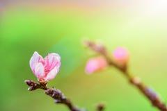 Różowy kwiat brzoskwinia Zdjęcia Stock