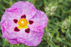 różowy kwiat egzotycznych Fotografia Stock