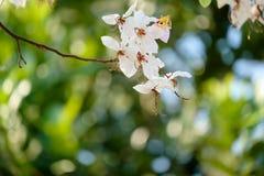 Różowy kwiat, Kanlapaphruek kwiat Zdjęcie Stock