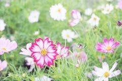 różowy kwiat kosmosu Zdjęcie Stock