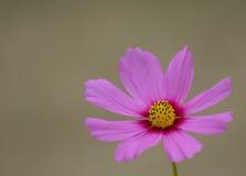 różowy kwiat kosmosu Obraz Royalty Free