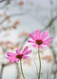 różowy kwiat kosmosu Zdjęcia Royalty Free