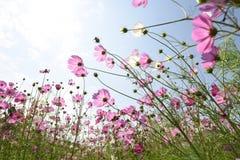 różowy kwiat kosmosu Fotografia Stock
