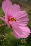 różowy kwiat kosmosu Fotografia Royalty Free