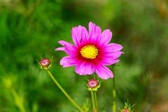 różowy kwiat kosmosu Obrazy Royalty Free