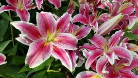 różowy kwiat lilii Obraz Stock