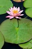 różowy kwiat lotosu Zdjęcie Stock