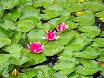 różowy kwiat lotosu Zdjęcie Royalty Free