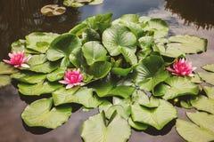 różowy kwiat lotosu Obrazy Royalty Free