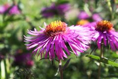Różowy kwiat makro- w ogródzie Zdjęcie Stock