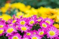 różowy kwiat ogrodowe obrazy royalty free