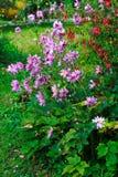 różowy kwiat ogrodowe Zdjęcie Stock