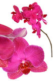 różowy kwiat orchidei Zdjęcia Stock
