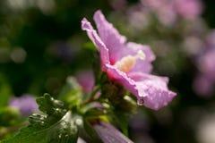 Różowy kwiat po Podeszczowego Bokeh fotografia stock