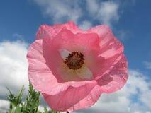 różowy kwiat poppy fotografia royalty free