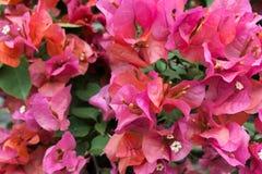 różowy kwiat tapeta fotografia stock
