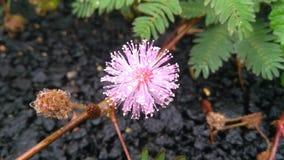 Różowy kwiat w Bangalore zdjęcia stock