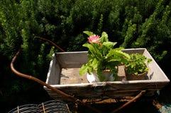 Różowy kwiat w drewnianym wheelbarrow Zdjęcia Royalty Free