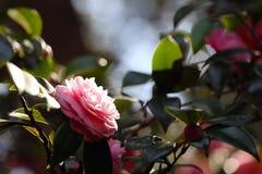 Różowy kwiat w ogródzie w Tokio Zdjęcia Royalty Free