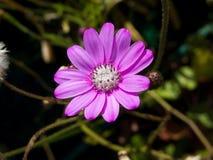 różowy kwiatu biel Fotografia Royalty Free