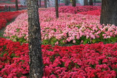 Różowy kwiatu ogród Obrazy Royalty Free