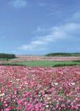 Różowy kwiatu pole zdjęcia stock