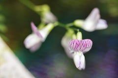 Różowy lasowy irys Fotografia Royalty Free