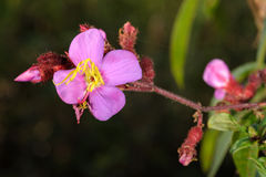 Różowy lasowy kwiat Zdjęcia Royalty Free