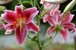 różowy lillies zdjęcia stock