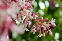 Różowy Lily Drzewny kwiat Zdjęcia Stock
