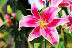 Różowy LilyPink lelui kwiat Zdjęcie Stock