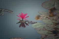 Różowy lotos Fotografia Stock