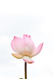 Różowy lotos obrazy royalty free