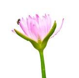 Różowy lotos Obrazy Stock