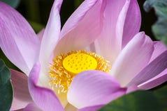 Różowy lotos Fotografia Royalty Free