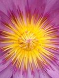 Różowy lotos Obraz Stock