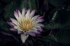 Różowy lotos kwitnie lub wodna leluja kwitnie kwitnienie na stawie Zdjęcie Royalty Free