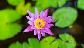 Różowy lotos kwitnie lub wodna leluja kwitnie kwitnienie na stawie, menchia Zdjęcia Royalty Free