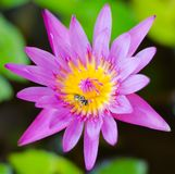 Różowy lotos kwitnie lub wodna leluja kwitnie kwitnienie na stawie, menchia Obraz Royalty Free