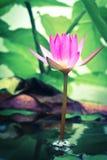 Różowy lotos kwitnie rocznika Obrazy Stock
