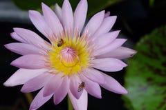 Różowy lotos lub waterlily Zdjęcia Royalty Free